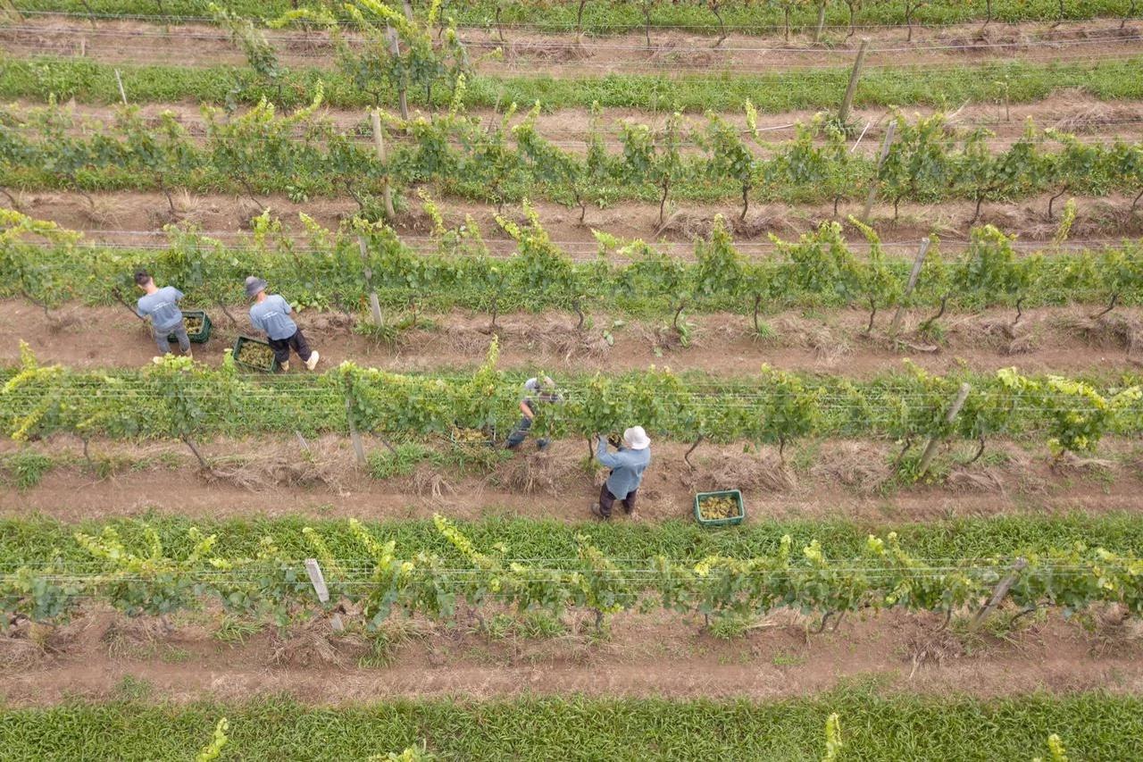 Pessoas colhendo uvas em parreirais.