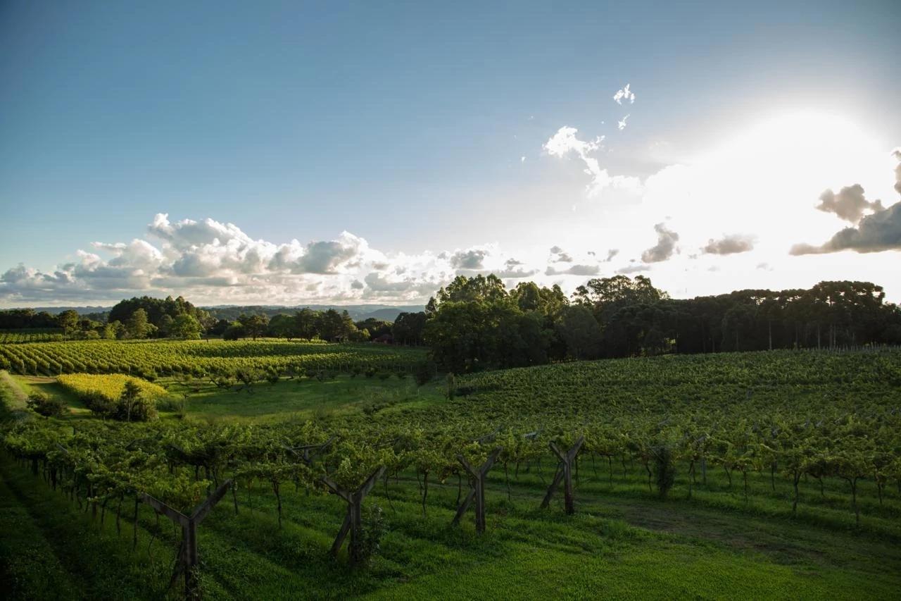 Vista de un viñedo en un día soleado.