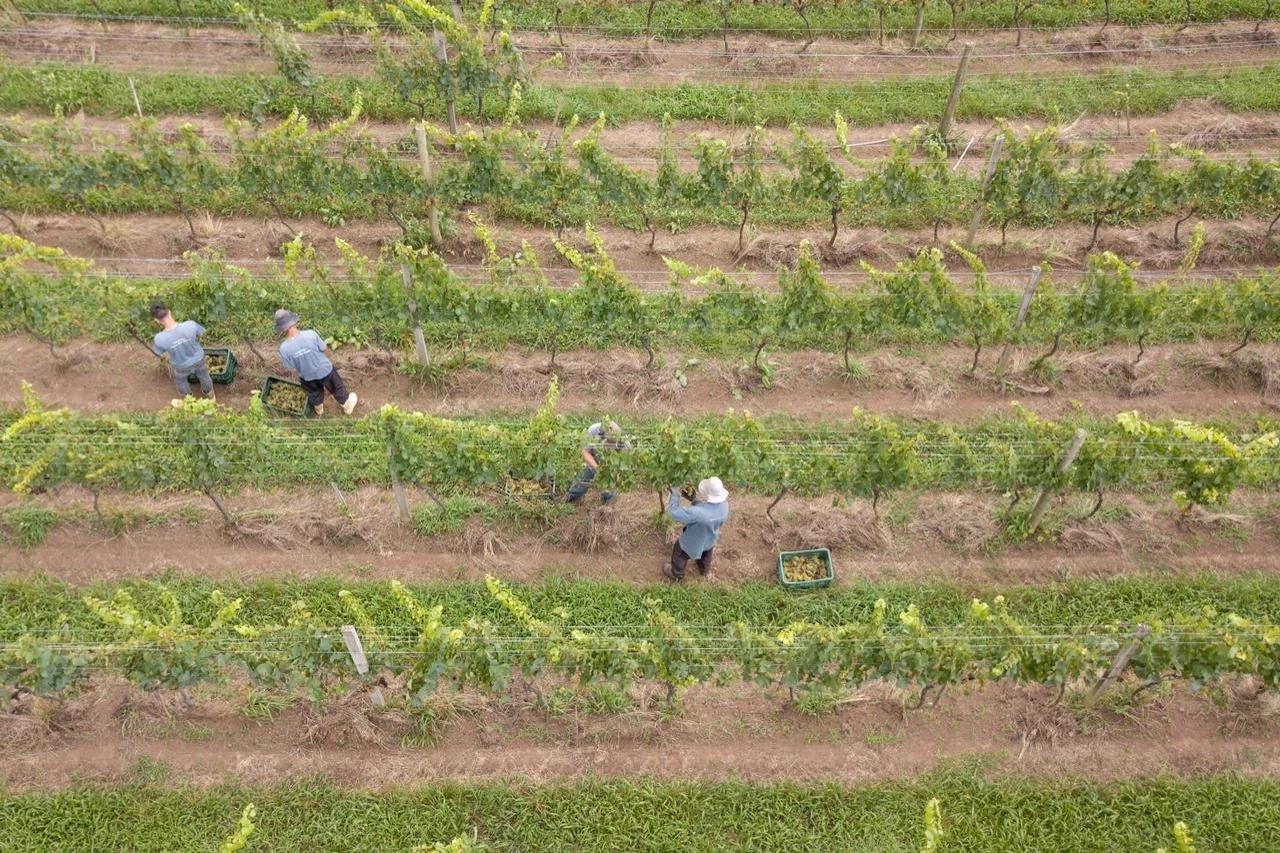 People picking grapes in vineyards.